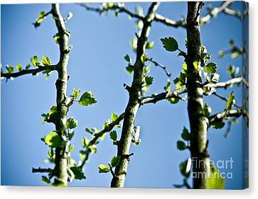 Baby Spring Tree Leaves 01 Canvas Print by Ryan Kelly