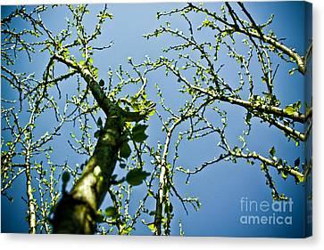Baby Spring Tree Leaves 02 Canvas Print by Ryan Kelly