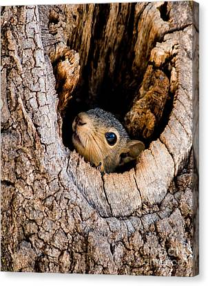 Baby Squirrel In Nest Canvas Print