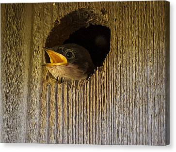 Baby Swallows First Impression Canvas Print by Jean Noren