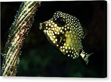 Canvas Print featuring the photograph Baby Trunk Fish by Jean Noren