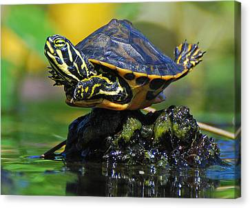 Baby Turtle Planking Canvas Print by Jessie Dickson