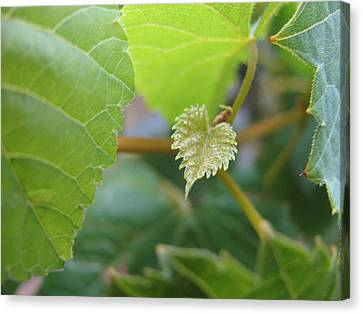 Canvas Print featuring the photograph Baby Vine by Lindie Racz