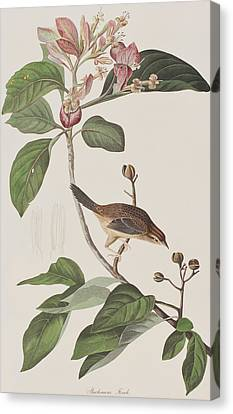 Finch Canvas Print - Bachmans Sparrow by John James Audubon