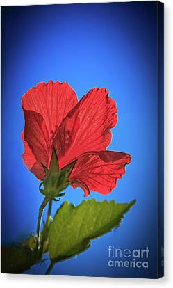 Back Lighting The Red Hibiscus  Canvas Print by Robert Bales
