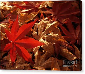 Back-lit Japanese Maple Leaf On Dried Leaves Canvas Print by Anna Lisa Yoder
