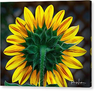 Back Of Sunflower Canvas Print