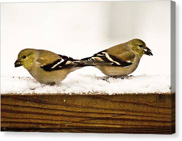 Back To Back American Gold Finches Canvas Print by Douglas Barnett