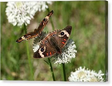 Back To Back Butterflies Canvas Print
