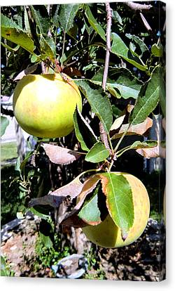 Back Yard Apples Canvas Print by Mindy Newman