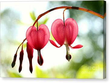 Backlight Bleeding Hearts Canvas Print