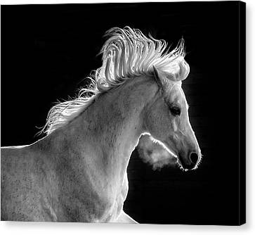 Backlit Arabian Canvas Print by Wes and Dotty Weber