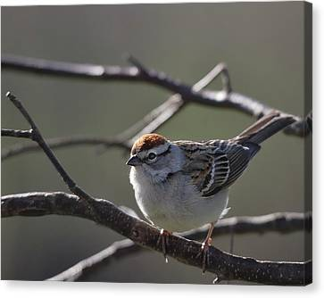 Canvas Print featuring the photograph Backlit Chipping Sparrow by Susan Capuano