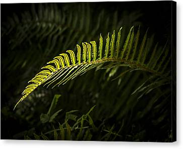 Backlit Firn Canvas Print by Jean Noren