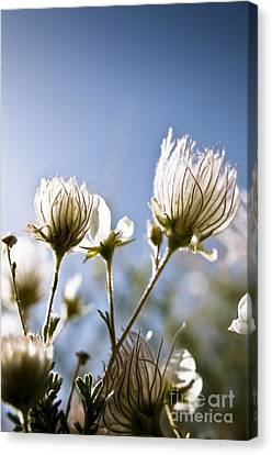 Backlit Fuzzy Flower Canvas Print by Ray Laskowitz - Printscapes