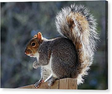 Backlit Grey Squirrel Canvas Print