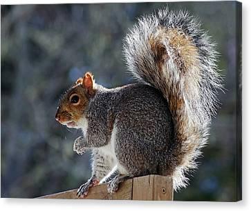 Backlit Grey Squirrel Canvas Print by Jeff Galbraith