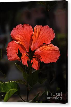 Backlit Hibiscus Canvas Print by Robert Bales