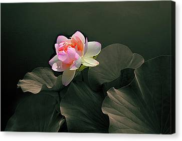 Backlit Lotus Canvas Print