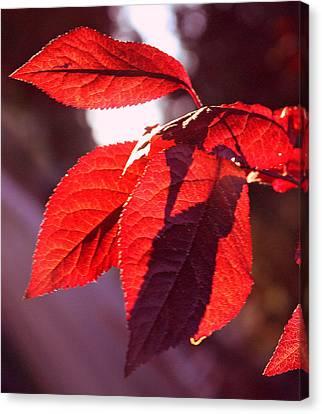 Backlit Red Leaves Canvas Print by Kami McKeon