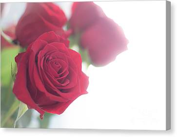 Backlit Soft Romantic Roses Canvas Print by Cheryl Baxter