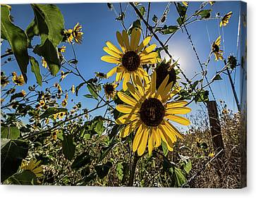 Canvas Print featuring the photograph Backlit Sunflower 3 by Dave Dilli