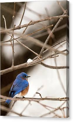 Backyard Bluebird Canvas Print
