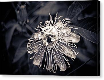 Clematis Flower Bloom Canvas Print