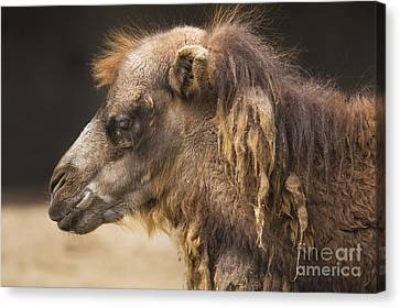 Camel Canvas Print - Bactrian Camel by Twenty Two North Photography