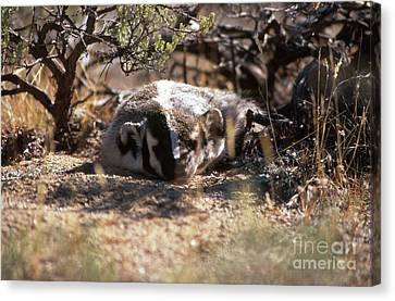 Canvas Print featuring the photograph Badger by Edward R Wisell