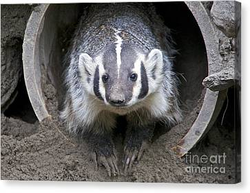Badger Canvas Print by Sean Griffin