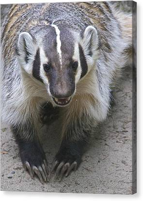 Badgered Badger Canvas Print by Sean Griffin