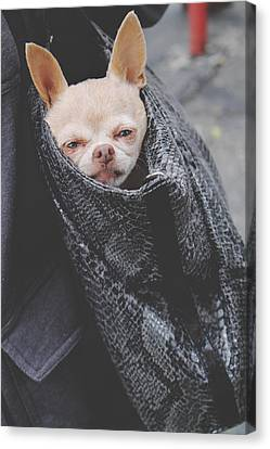 Chihuahua Canvas Print - Bagged by Laurie Search