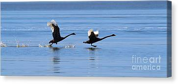 Balck Swans Taking To Flight Canvas Print by Bill  Robinson