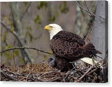 Bald Eage In Nest Canvas Print by Ann Bridges