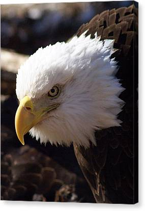 Bald Eagle 2 Canvas Print by Marty Koch