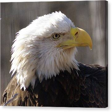 Bald Eagle 3 Canvas Print by Marty Koch