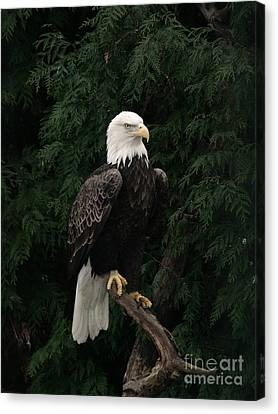 Bald Eagle #4 Canvas Print