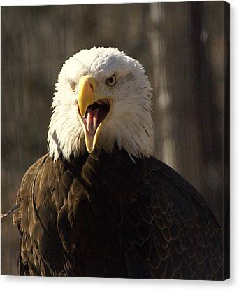 Bald Eagle 4 Canvas Print by Marty Koch