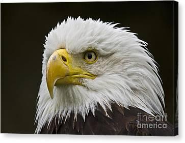 Bald Eagle - 6 Canvas Print