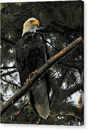 Canvas Print featuring the photograph Bald Eagle by Glenn Gordon