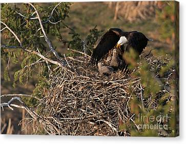 Admiring The View Canvas Print - Bald Eagle And Eaglets by Daryl L Hunter