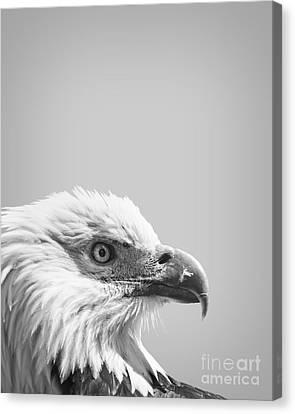 Bald Eagle Canvas Print by Delphimages Photo Creations