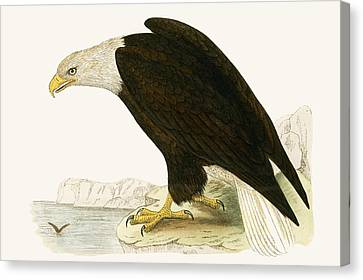 Bald Eagle Canvas Print by English School