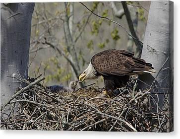Bald Eagle Feeding Canvas Print by Ann Bridges
