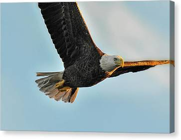 Bald Eagle Flying In Close Canvas Print by Dan Friend