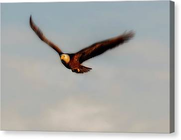 Bald Eagle Flying Wing Motion Canvas Print by Dan Friend