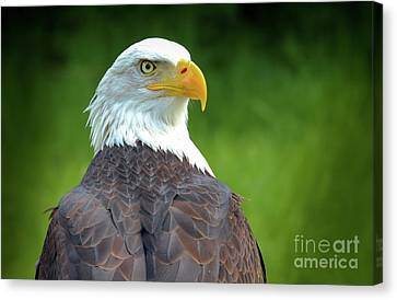 Bald Eagle Canvas Print by Franziskus Pfleghart