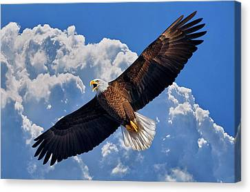 Bald Eagle In Flight Calling Out Canvas Print by Justin Kelefas