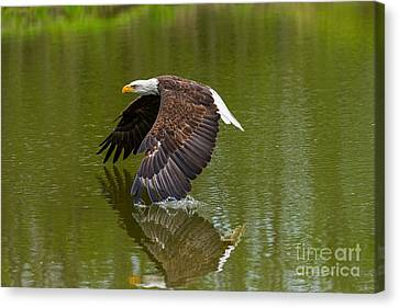 Bald Eagle In Low Flight Over A Lake Canvas Print by Les Palenik